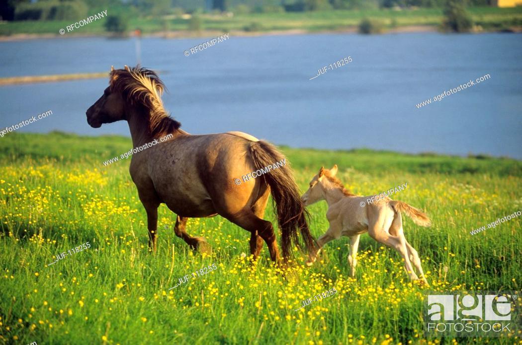 Stock Photo: Konik with foal on meadow.