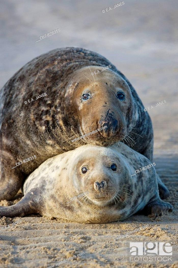 Stock Photo: Grey Seal Halichoerus grypus male and Female December.
