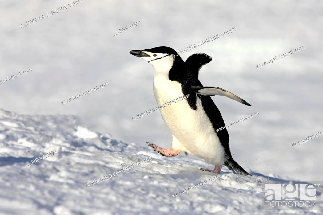 Stock Photo: Chinstrap Penguin (Pygoscelis antarctica), adult, spreading wings, Brown Bluff, Antarctica.