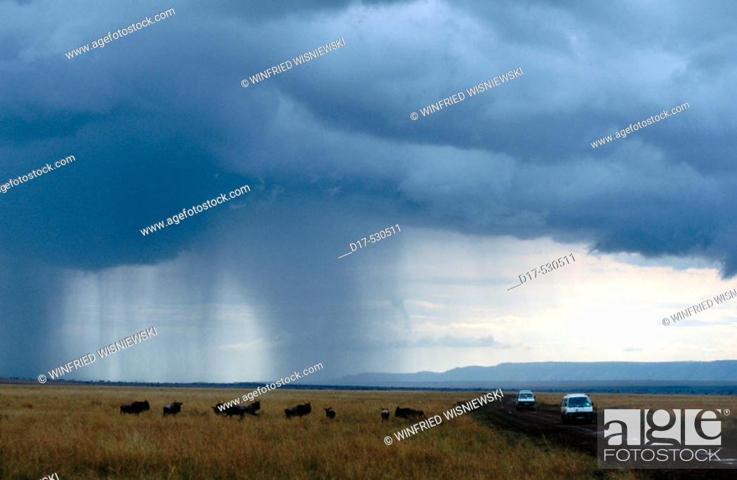 Stock Photo: Blue Wildebeest (Connochaetes taurinus) and a tourist car in a heavy rain. Massai Mara Preserve, Kenya.