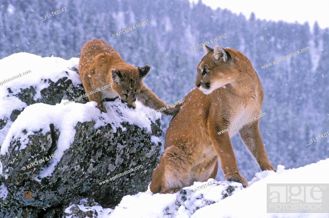 54878e05c1ea Stock Photo - Cougar