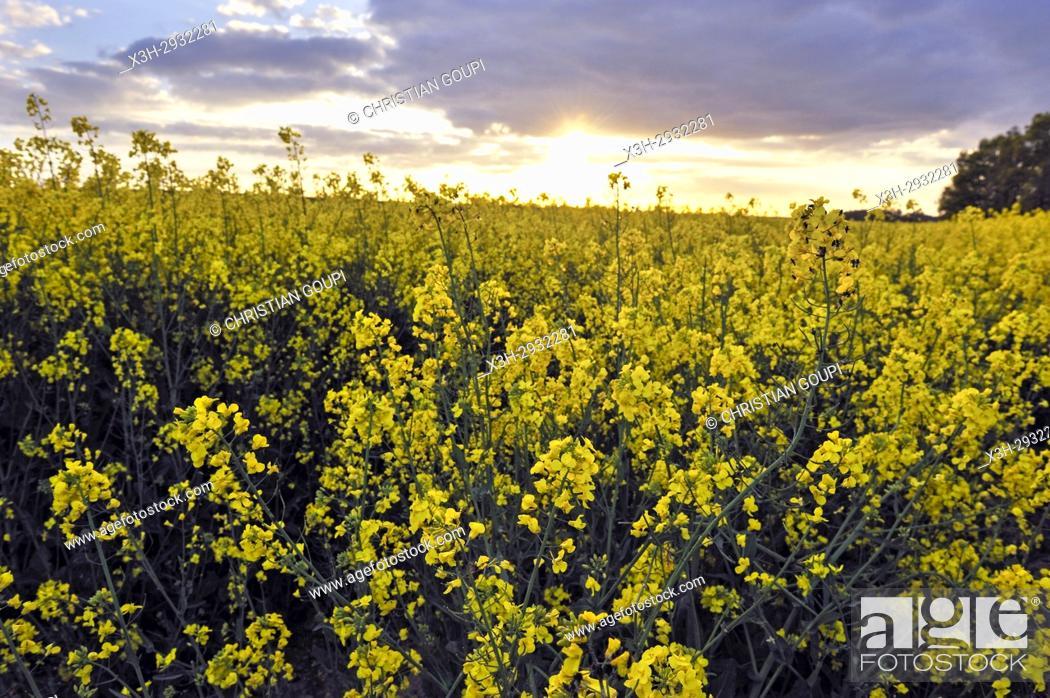 Imagen: rapeseed field at sunset, Eure-et-Loir department, Centre-Val de Loire region, France, Europe.