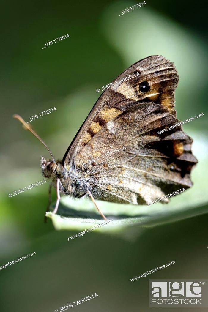 Stock Photo: Butterfly. Villena. Alicante. Valencia. Spain. Europe.