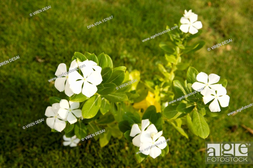White flower common name creeping phlox botanical name phlox stock photo white flower common name creeping phlox botanical name phlox subulata mightylinksfo