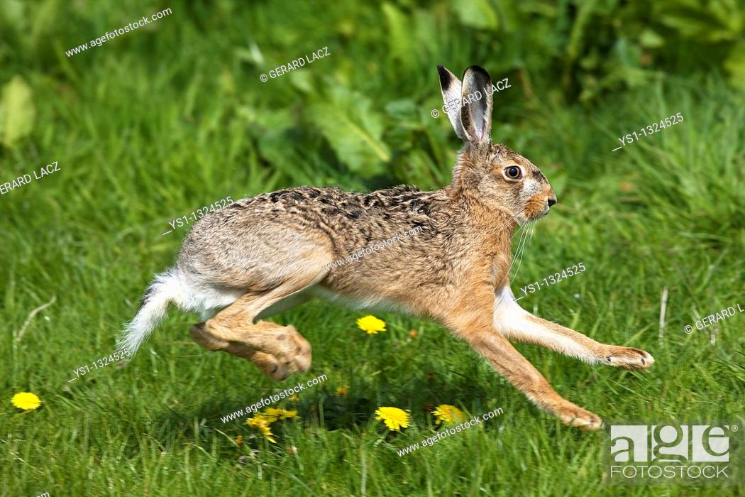 Stock Photo: European Brown Hare, lepus europaeus, Adult running on Grass, Normandy.