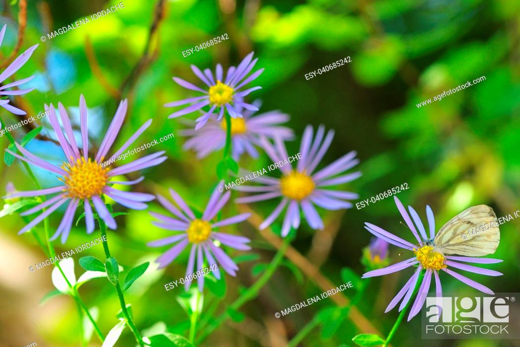 Stock Photo: Aster hispidus flowers and white butterfly.