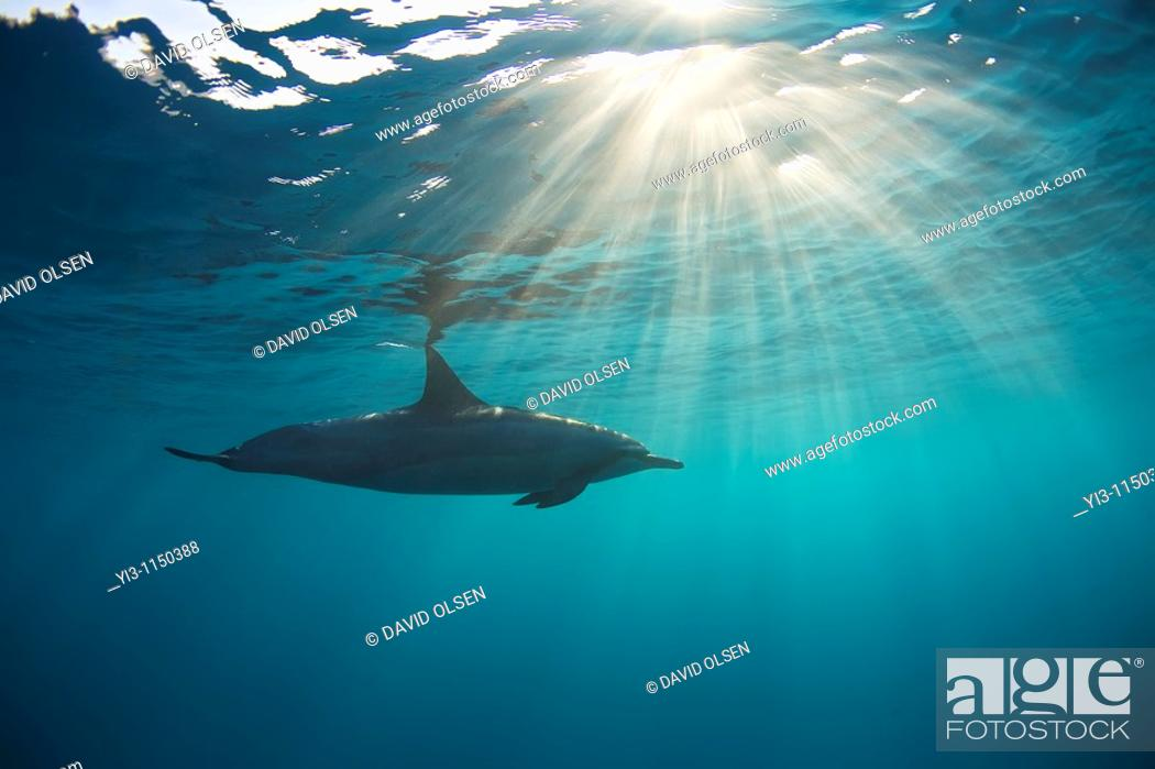 Stock Photo: Dolphin swims with sun rays in Maui waters.