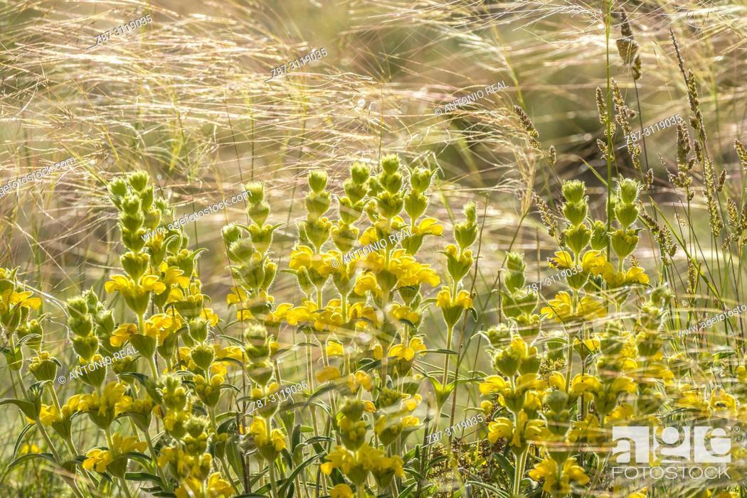 Imagen: Stipa lagascae and Candilera (Phlomis lychnitis). Almansa. Albacete. Spain.