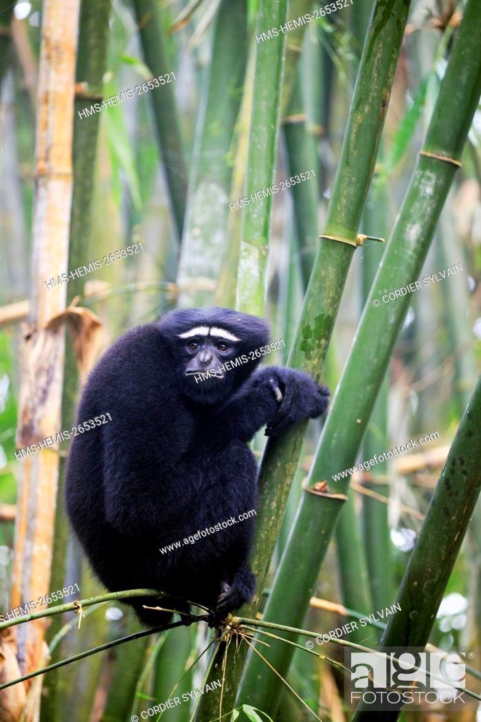 Stock Photo: India, Tripura state, Gumti wildlife sanctuary, Western hoolock gibbon (Hoolock hoolock), adult male.