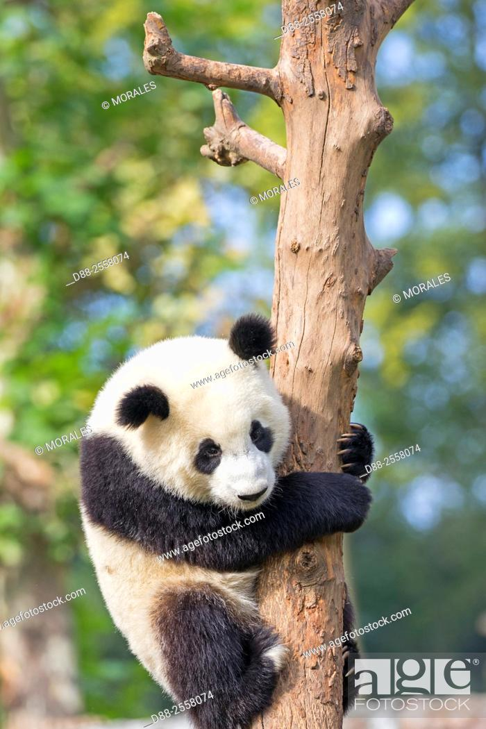 Stock Photo: Asia, China, Sichuan, Research Base of Giant Panda Breeding or Chengdu Panda Base, Giant Panda Ailuropoda melanoleuca, captive, .