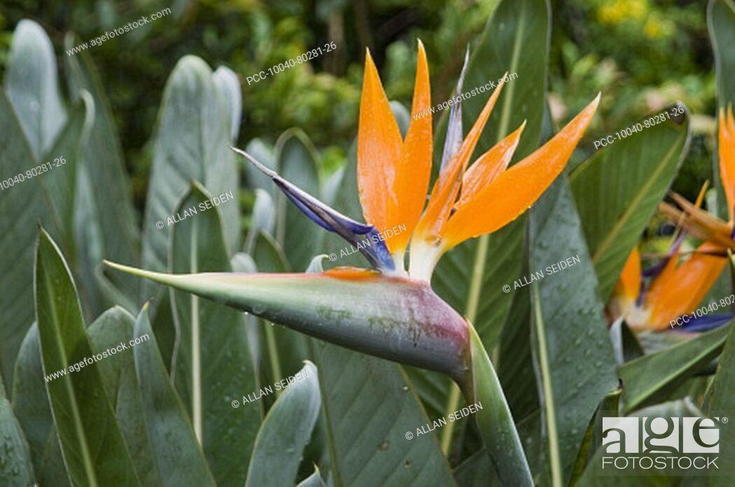 Stock Photo: Bird of Paradise among green leaves.
