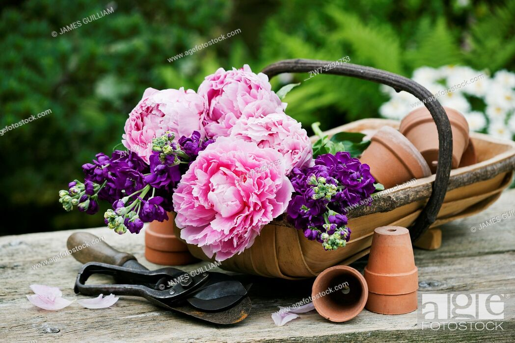 Stock Photo: Garden trug filled with Peony and Stock flowers.