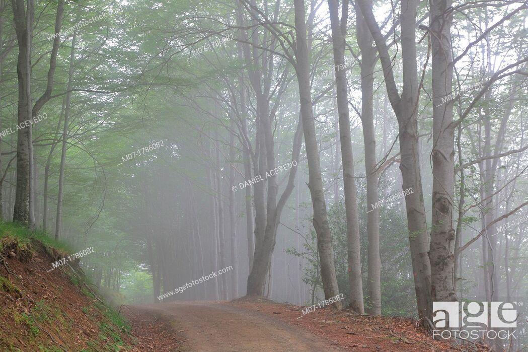 Stock Photo: Misty Beech forest, Iberico mountain range, Rioja wine region, La Rioja, Spain, Europe.