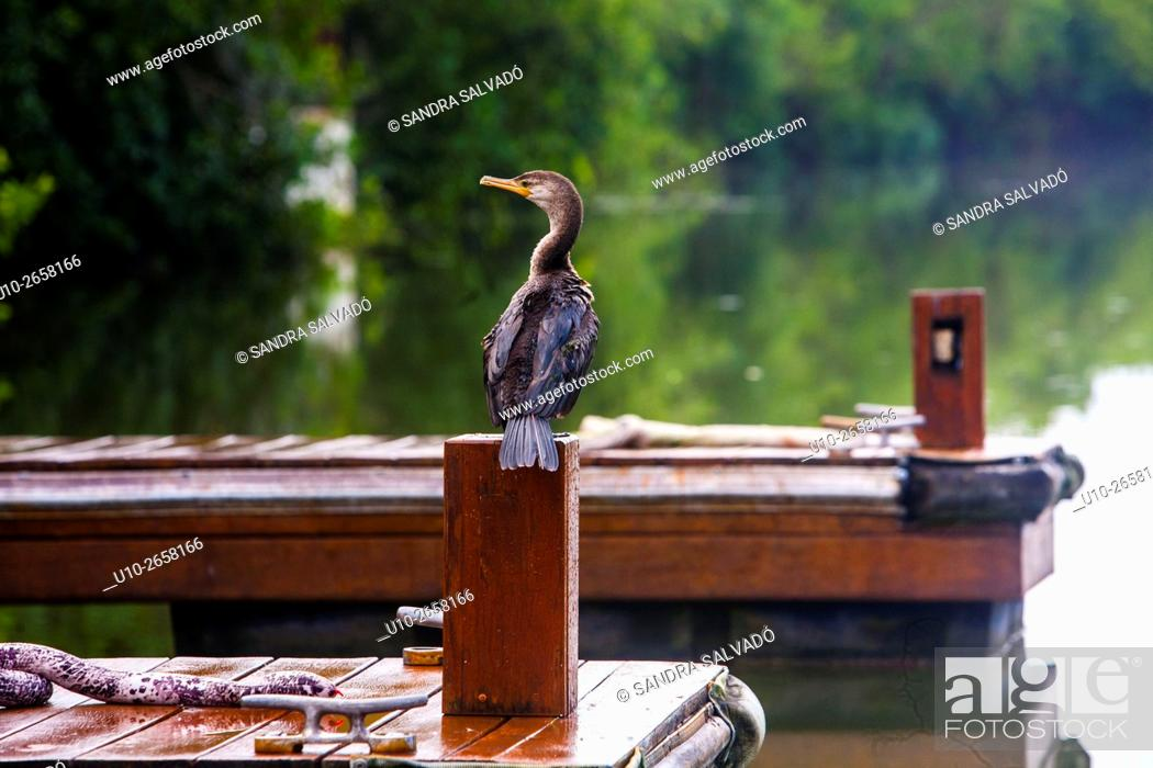 Stock Photo: Cormorant at Mayakoba Rosewood, Riviera Maya, Quintana Roo. México.