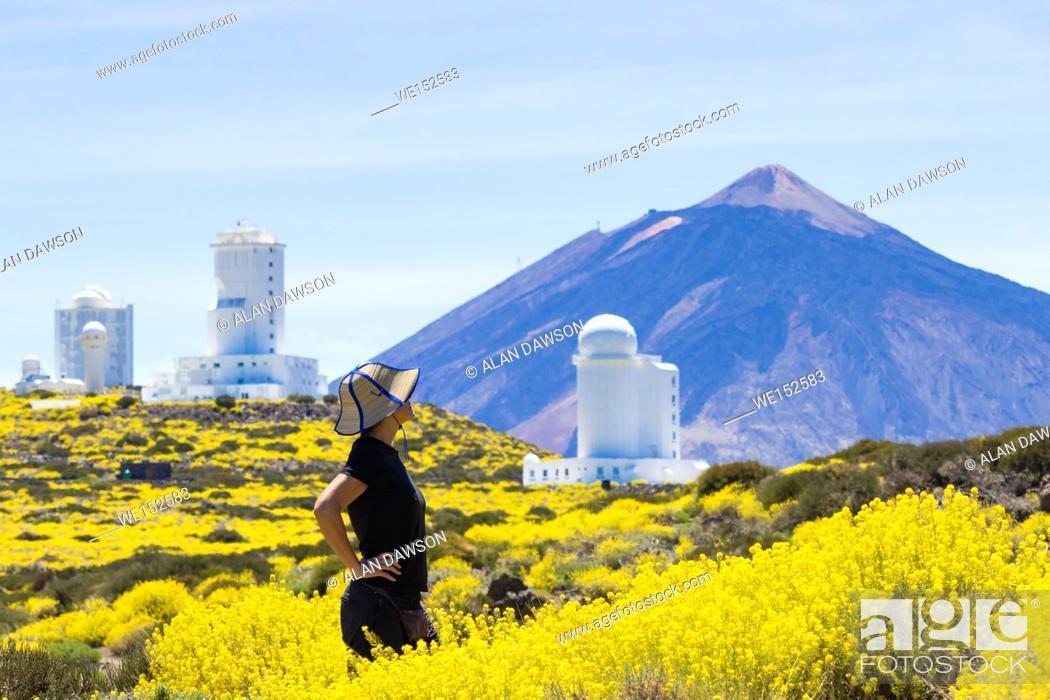 Stock Photo: Tenerife, Canary Islands, Spain, May 2017. A sea of yellow as a female hiker walks on a footpath through Hierba Pajonera ( Descurainia bourgaeana ).