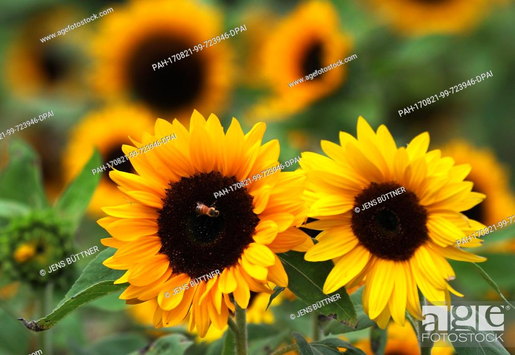 Stock Photo: A sunflower blooms on a field near Friedrichmoor in the German state of Mecklenburg-Western Pomerania, Germany, 21 August 2017.