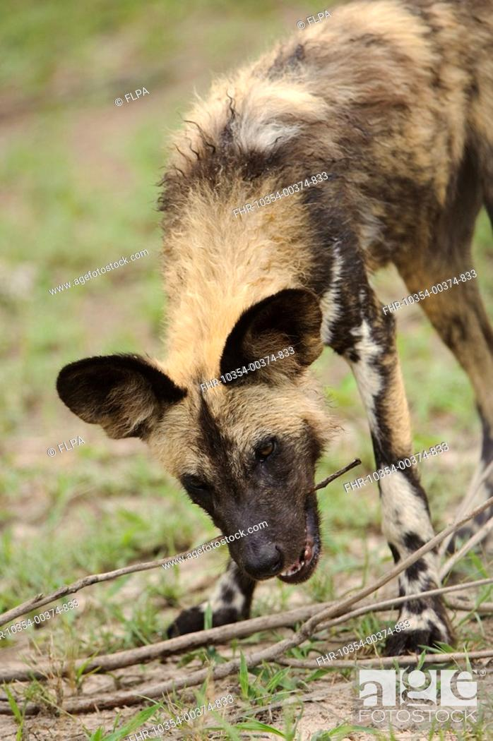 Stock Photo: African Wild Dog Lycaon pictus pup, chewing on stick, Kwando Lagoon, Linyanti, Botswana.