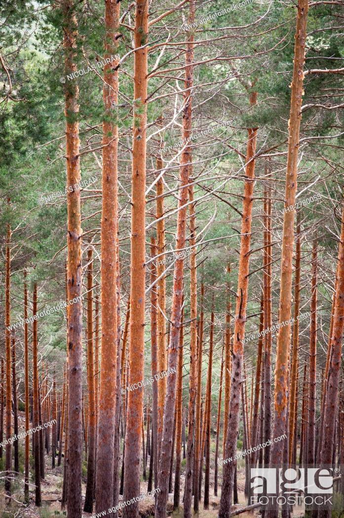 Imagen: Forest of pine tree (Pinus sylvestris). Sierra de Gredos, Avila province, Castilla León region, Spain.