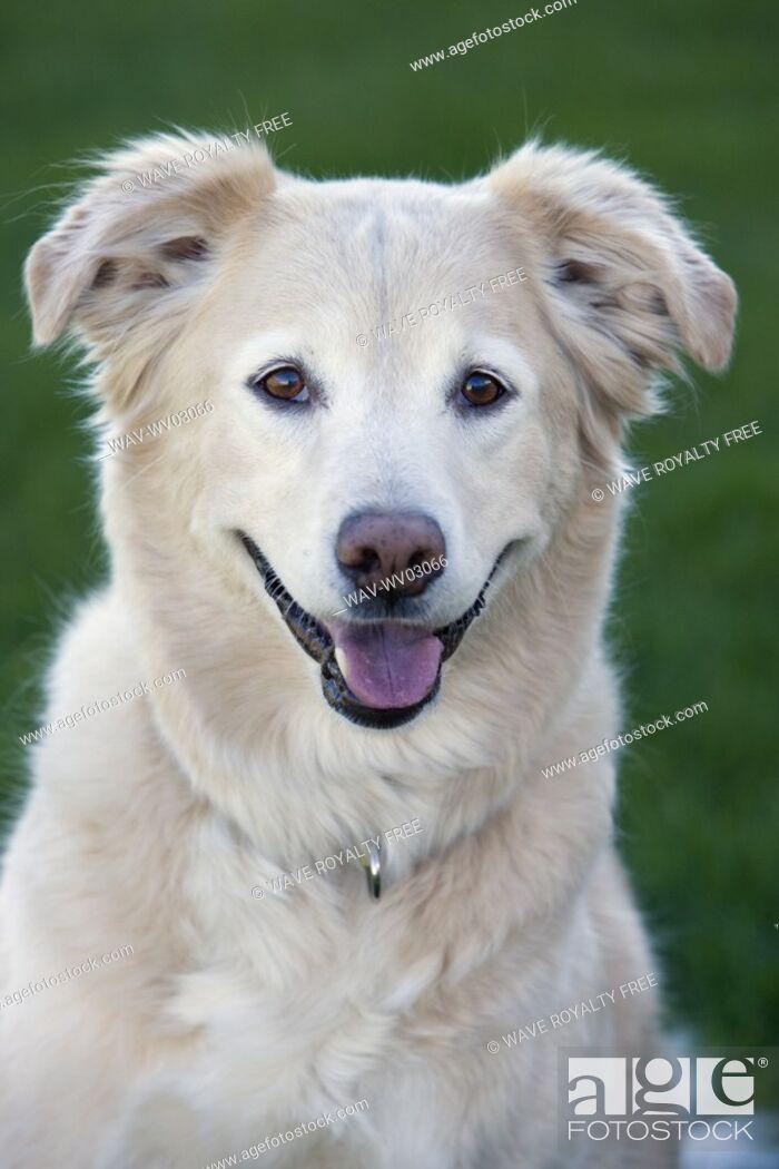Stock Photo: Tan coloured mixed breed dog, Canada, Alberta.
