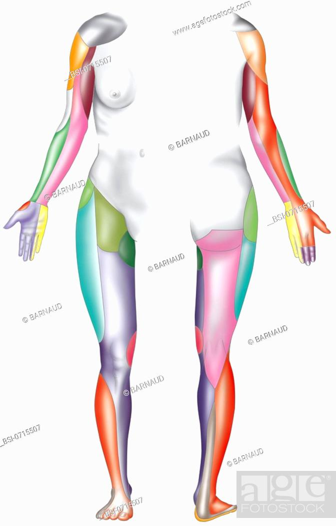 Dermatome. : innervated territories of the limbs, Foto de Stock ...