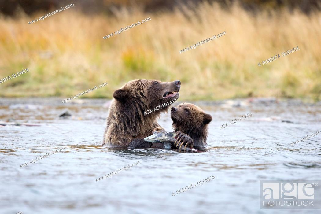 Stock Photo: Grizzly bear (Ursus arctos horribilis), female eating sockeye salmon (Oncorhynchus nerka) as cub of the year watches/food begs, Central Interior.