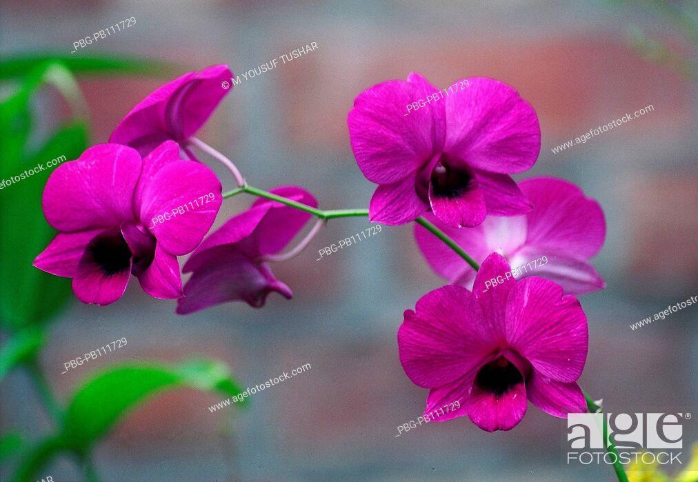 Imagen: Orchid Himantoglossum adriaticum flower, Bangladesh.