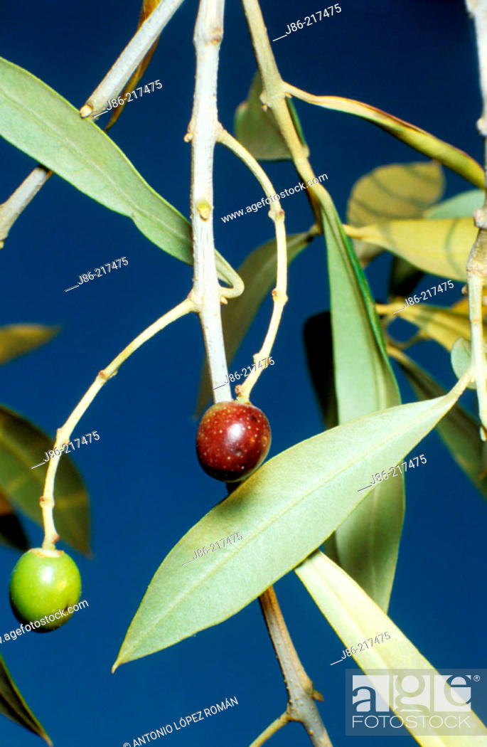 Stock Photo: Wild olive tree (Olea europaea var. sylvestris).