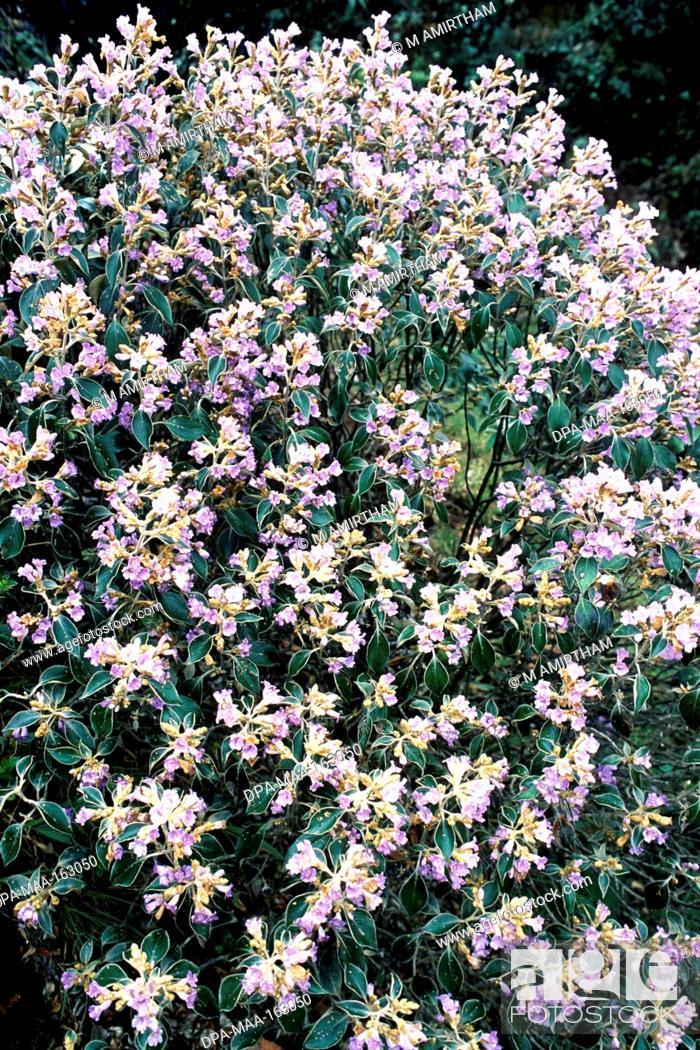 Stock Photo: Kurunji flowers strobilanthes lanatus nees acanthaceae flowering in Mukurthi national park ; Ooty ; Ootacamund ; Udhagamandalam ; Nilgiris ; Tamil Nadu ; India.
