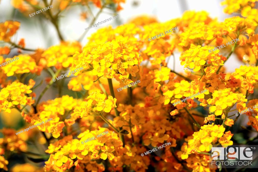Stock Photo: basket of gold or allysum saxatile, herbaceous perennial of the family Cruciferae.