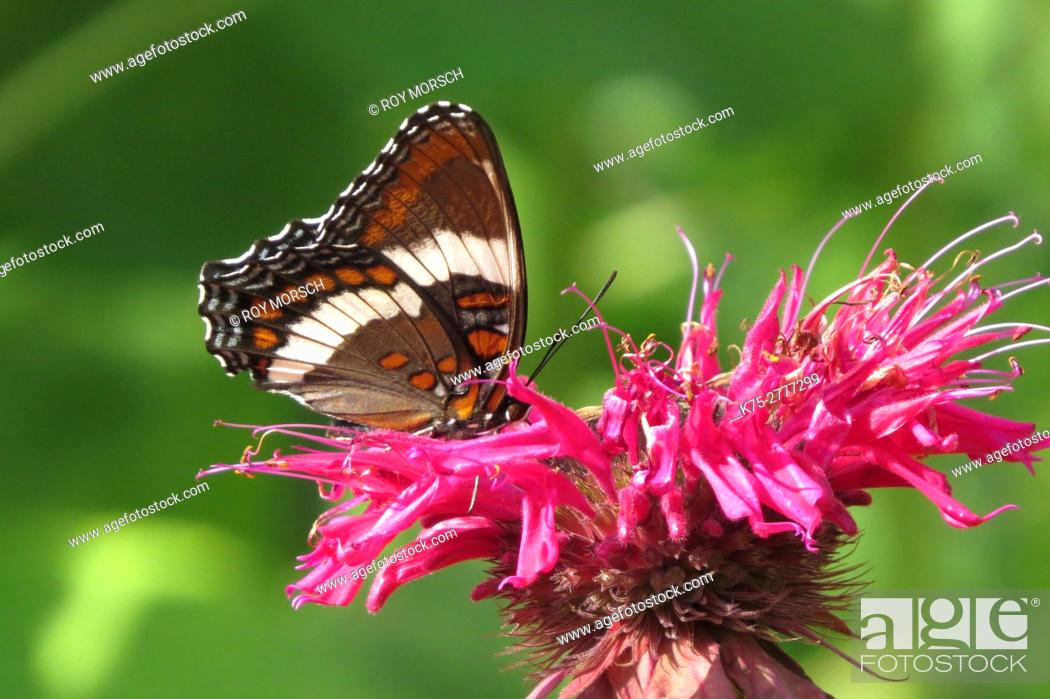 Stock Photo: White Admiral Butterfly on bee balm.