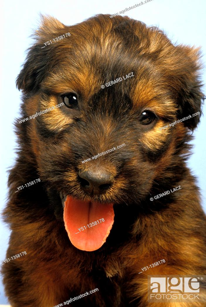 Stock Photo: BRIARD DOG, PORTRAIT OF PUP WITH TONGUE OUT.
