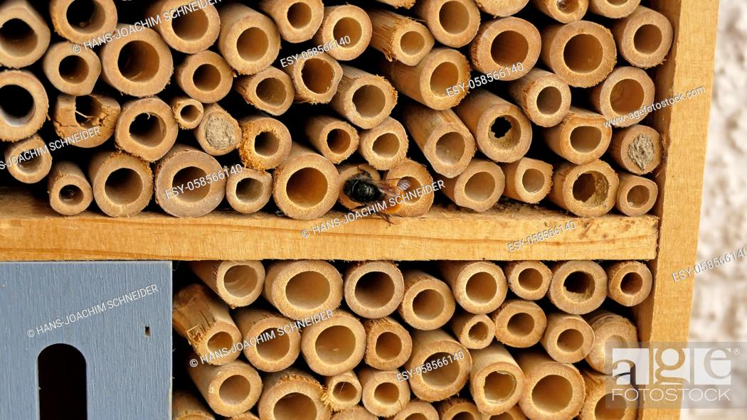 Stock Photo: orchid bee closes its brood cavity in an insect hotel in Germany.