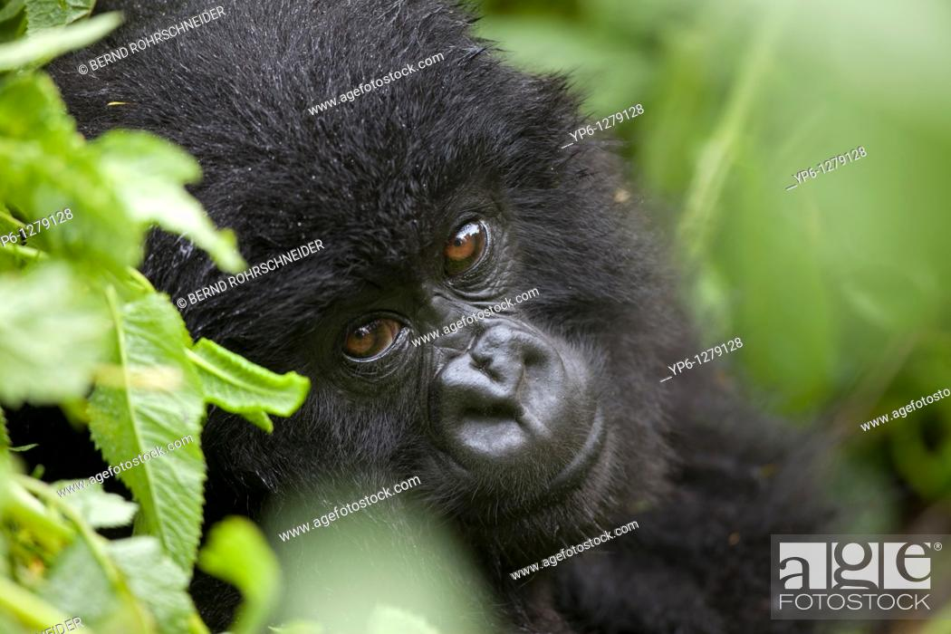 Stock Photo: portrait of a young Mountain Gorilla, Gorilla gorilla beringei, sitting in rainforest, Volcano National Park, Rwanda.