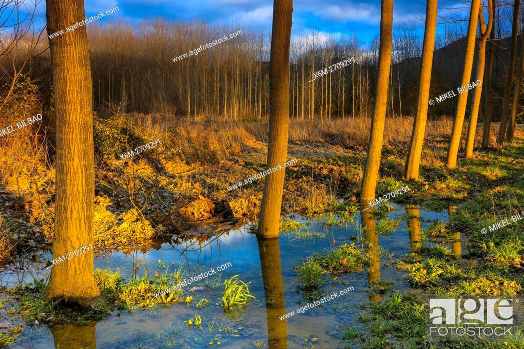 Stock Photo: Poplar grove near Ega river. Murieta, Navarre. Spain, Europe.
