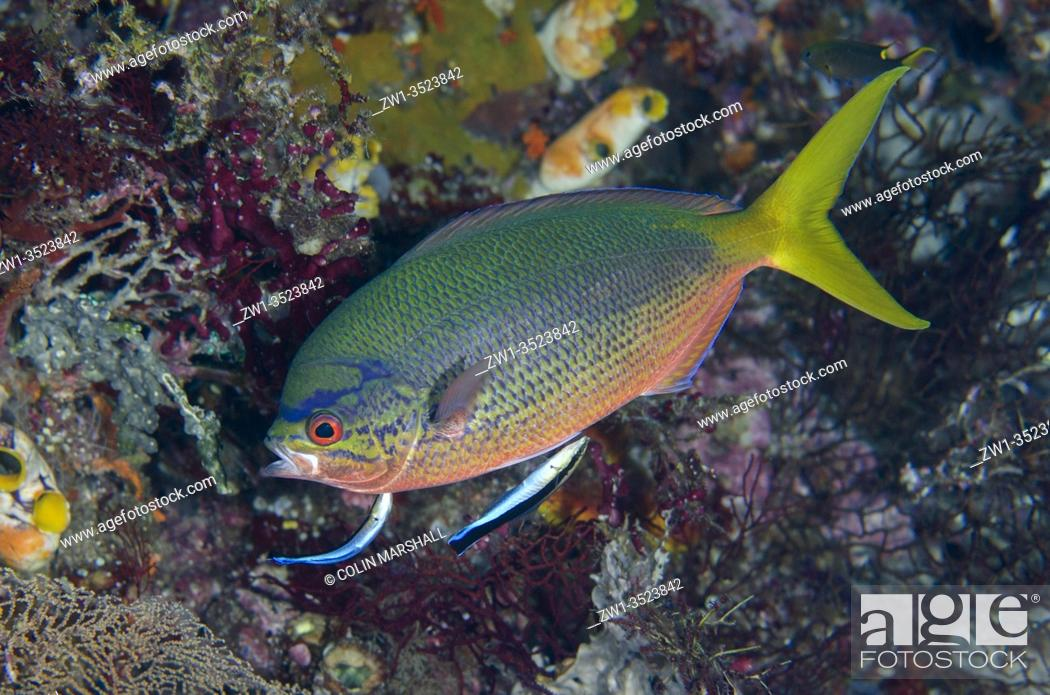 Stock Photo: Yellowtail Fusilier (Caesio cuning) being cleaned by a pair of Bluestreak Cleaner Wrasse (Labroides dimidiatus), Boo West dive site, Misool Island, Raja Ampat.