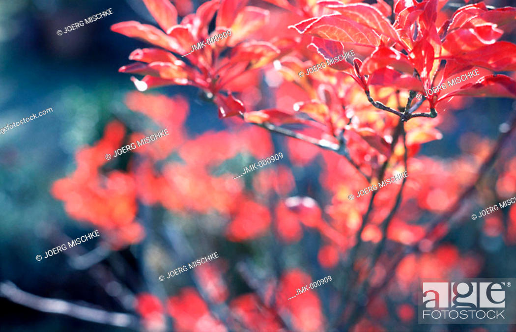 Stock Photo: Branches with red leaves in a garden.