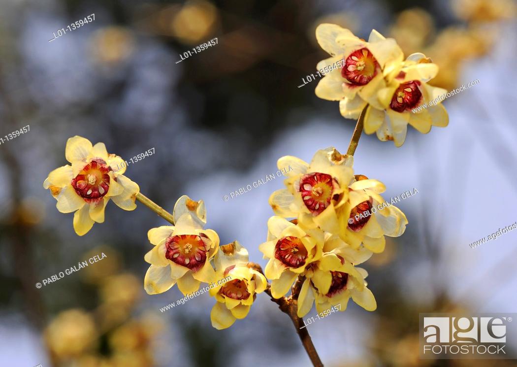 Stock Photo: Japanese allspice (Calycanthus praecox).