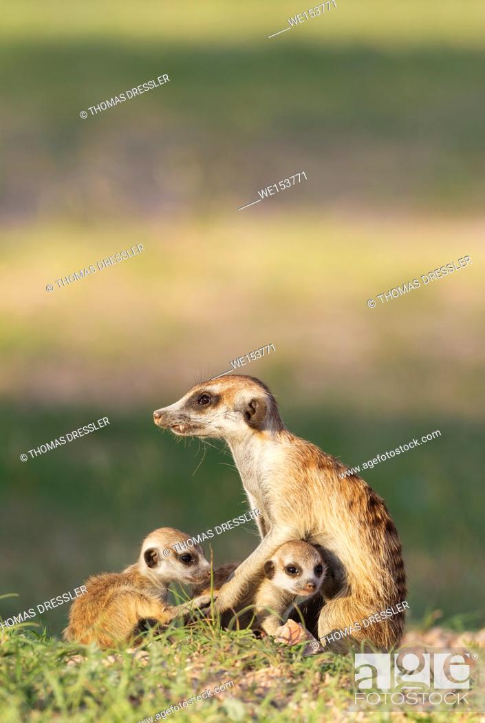 Stock Photo: Suricate (Suricata suricatta). Also called Meerkat. Female with two young at their burrow. During the rainy season in green surroundings.