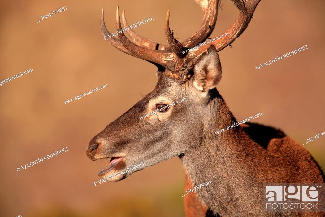 Stock Photo: deer (Cervus elaphus) in Sierra Morena. Cordoba.