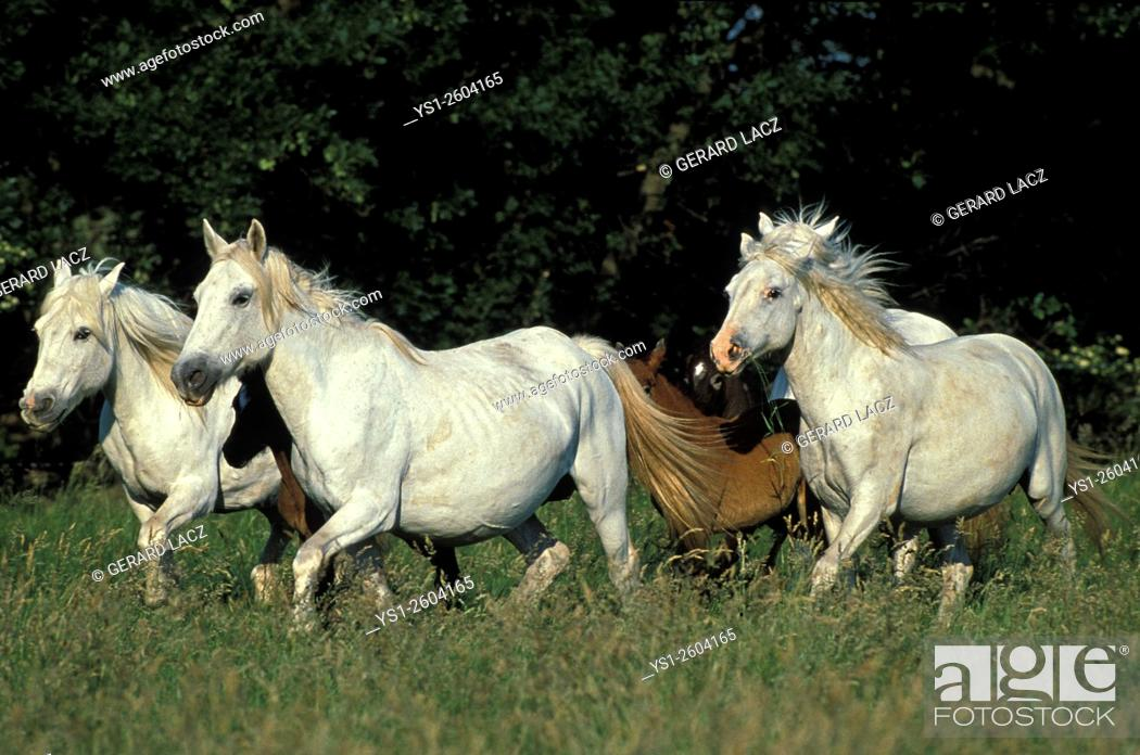 Stock Photo: Camargue Horse, Herd Trotting, Saintes Maries de la Mer in the South East of France.