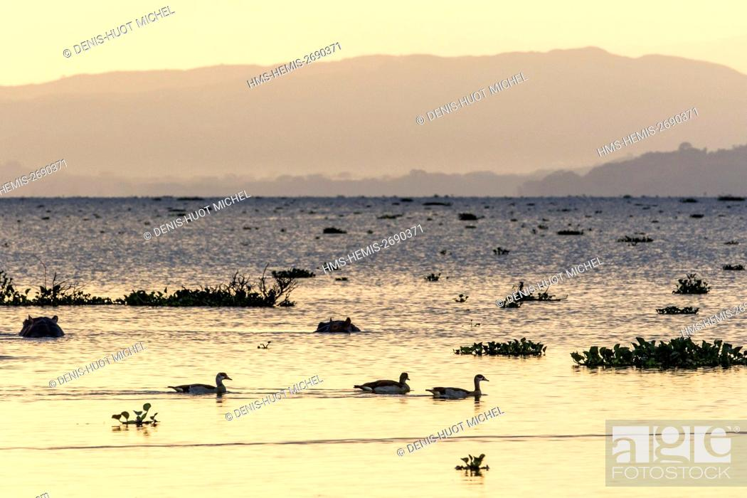 Stock Photo: Kenya, lake Naivasha, hippopotame (Hippopotamus amphibius) and egyptian goose (Alopochen aegyptiaca), at sunset.