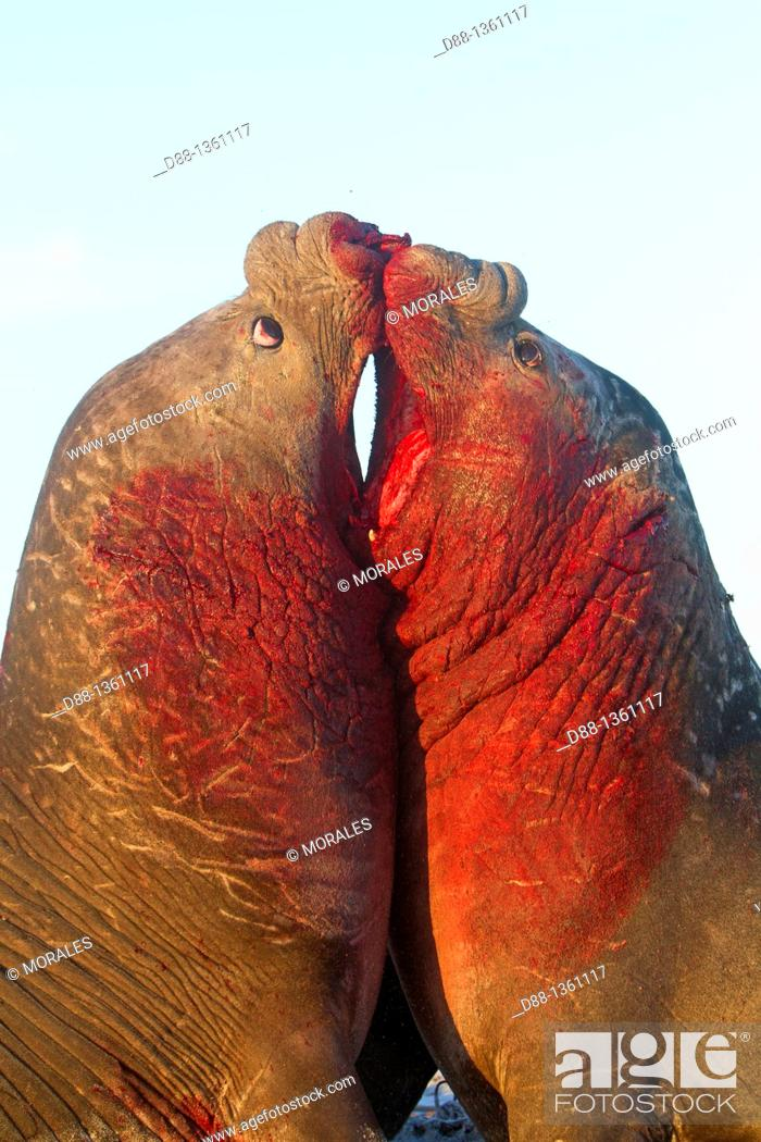 Stock Photo: Falkland Islands , Sea LIon island , Southern Elephant Seal  Mirounga leonina.