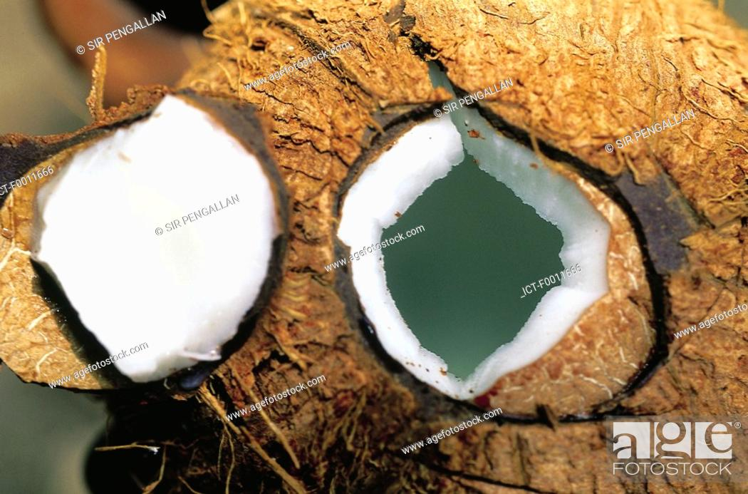 Stock Photo: Jamaica, fresh coconut to drink.
