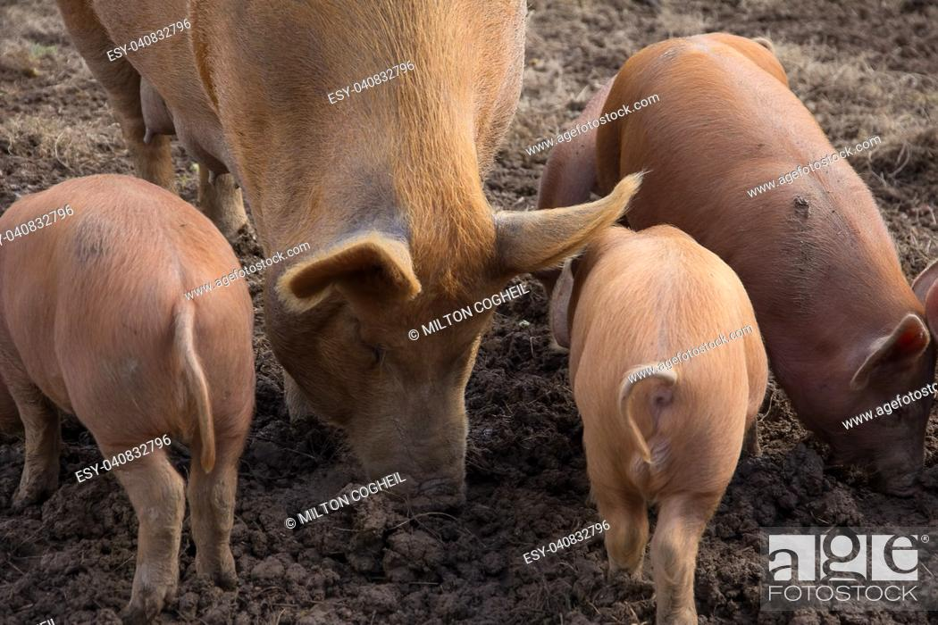 Stock Photo: amworth Pigs foraging in the mud on a farm in Cornwall.