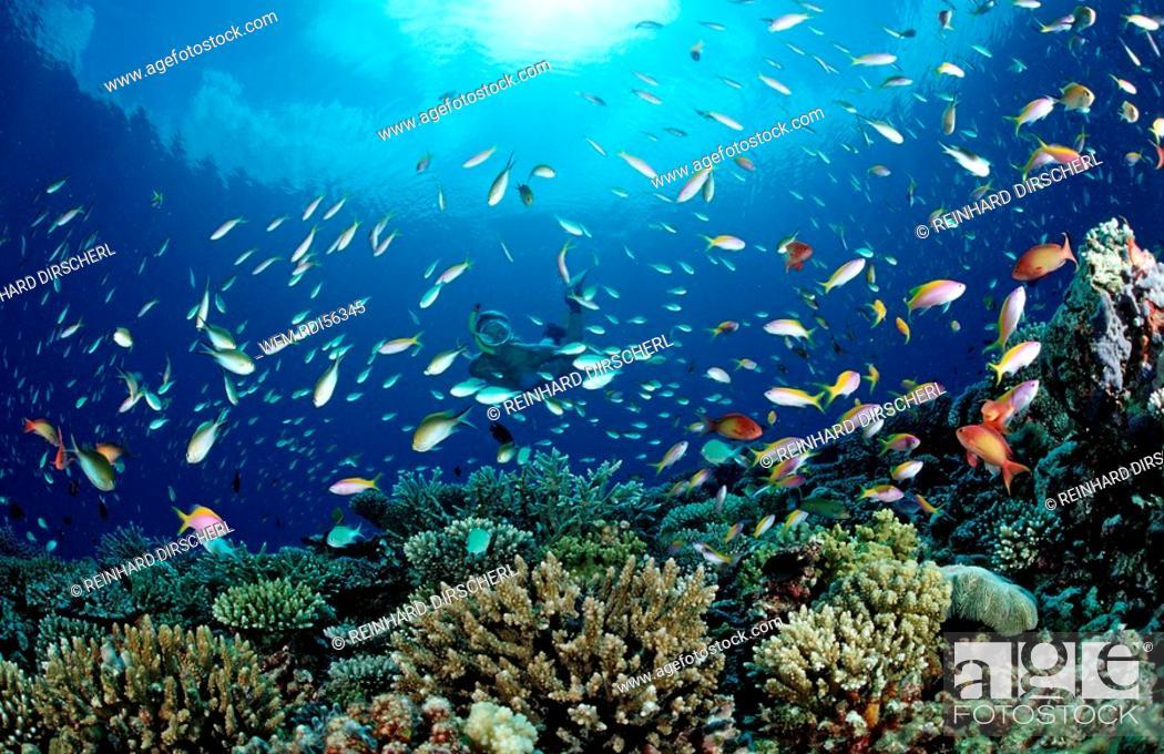 Stock Photo: Snorkeler an Coral Reef, Indian Ocean, Meemu Atoll, Maldives.
