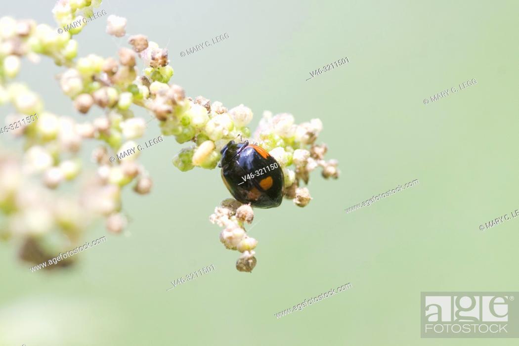Stock Photo: Two-spot ladybird, Adalia bipunctata var. maculata. Black variant of the red 2spot Ladybird.