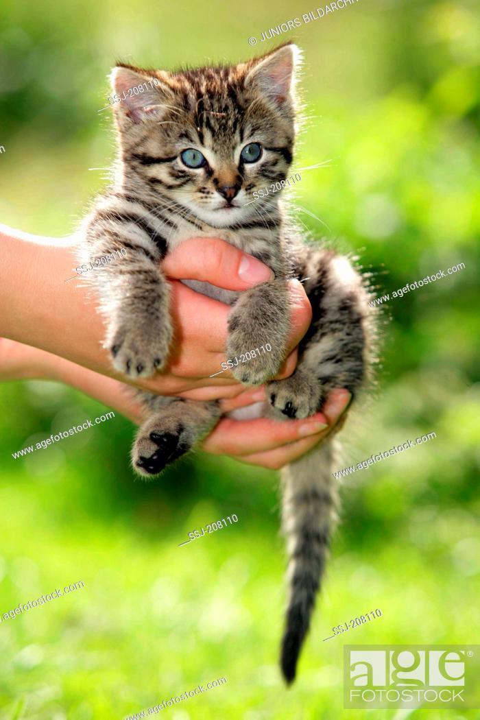 Stock Photo: Domestic cat. Tabby kitten in a hand. Germany.