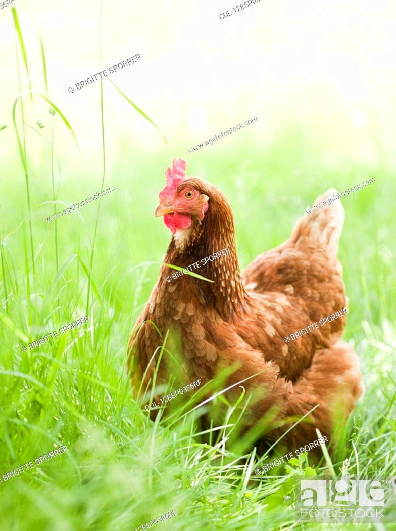 Stock Photo: Chicken in Meadow.