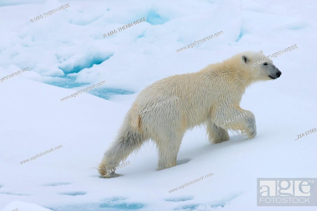 Stock Photo: Polar bear cub (Ursus maritimus) walking on a melting ice floe, Spitsbergen Island, Svalbard archipelago, Norway, Europe.