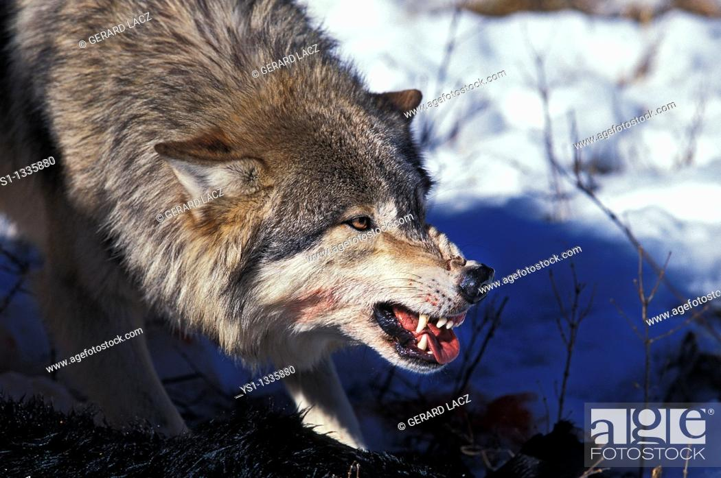 Stock Photo: NORTH AMERICAN GREY WOLF canis lupus occidentalis, ADULT WITH KILL IN THREAT POSTURE, CANADA.